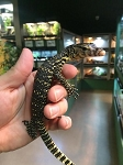ASIAN WATER MONITORs, CH babies - Varanus salvator