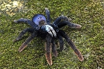 z OUT OF STOCK - Thrigmopoeus psychedelicus - INDIAN RAINBOW TARANTULA