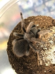 z OUT OF STOCK - Aphonopelma anax - TEXAS TAN TARANTULA, 4