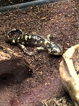 z OUT OF STOCK - BARRED TIGER SALAMANDERS - Ambystoma tigrinum
