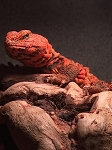 z OUT OF STOCK - UROMASTYX NIGERIAN - RED MALE (Uromastyx geyri)