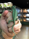 z ALREADY ADOPTED - VEILED CHAMELEON - CB MALE - Chamaeleo calyptratus
