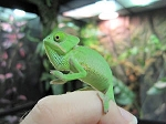 Z OUT OF STOCK - VEILED CHAMELEON - CB Female babies - Chamaeleo calyptratus