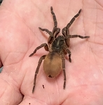 z(OUT OF STOCK) - Euthycaelus colonica - VENEZUELAN ORANGE & BRONZE TARANTULA - CB .5
