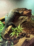 z ALREADY ADOPTED - ASIAN WATER MONITOR - Varanus salvator
