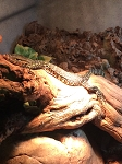z OUT OF STOCK - ASIAN WATER MONITORs, CH babies - Varanus salvator