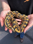z (OUT OF STOCK) - YELLOWBELLY BALL PYTHON - 2018 FEMALE #1, Python regius