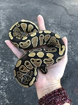 z OUT OF STOCK - YELLOWBELLY BALL PYTHON - 2019 FEMALE, Python regius