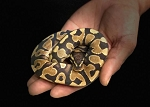 z OUT OF STOCK - YELLOWBELLY HET ULTRAMEL BALL PYTHON - Python regius