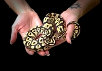 z OUT OF STOCK - PASTAVE YELLOWBELLY PYTHON, CB MALE - Python regius