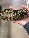 z OUT OF STOCK - YELLOWBELLY SPECIAL BALL PYTHON - 2019, Python regius