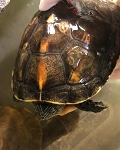 z ALREADY ADOPTED - YELLOW BELLIED TURTLE 4.5