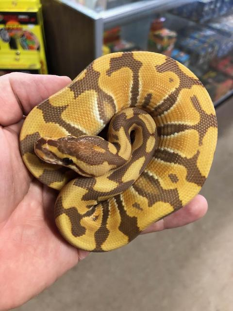 z OUT OF STOCK - ULTRAMEL BALL PYTHON - Python regius, 2018 MALE