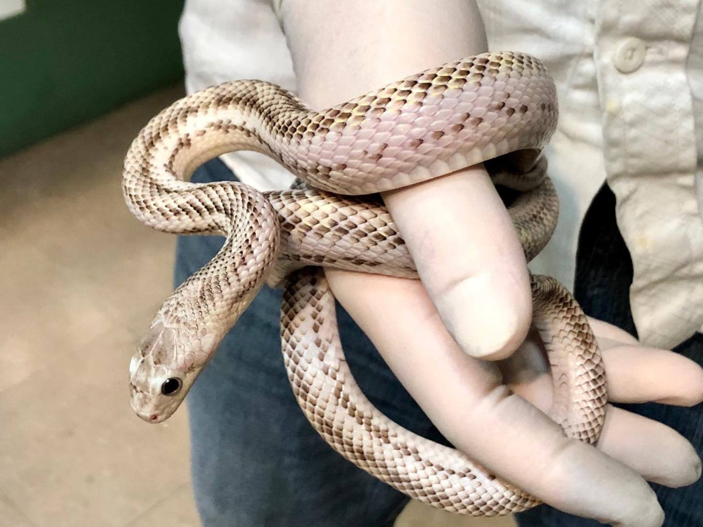 z OUT OF STOCK - TEXAS RAT SNAKE - WHITESIDED, CB MALE, Elaphe obsoleta lindheimeri
