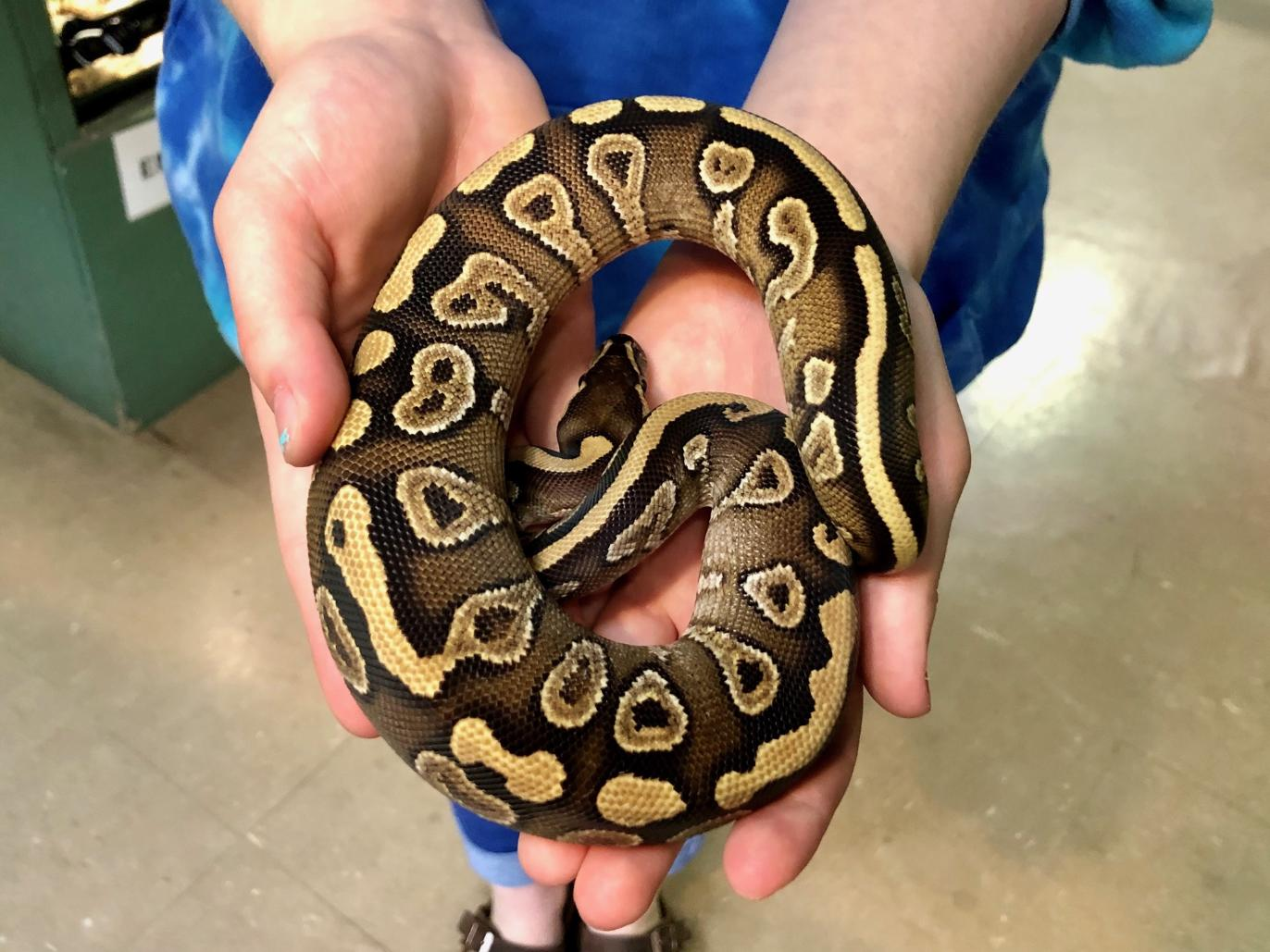 z OUT OF STOCK - MOJAVE YELLOWBELLY BALL PYTHON - 2019 MALE, Python regius