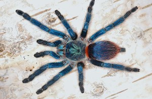 z OUT OF STOCK - Dolichothele (Oligoxystre) diamantinensis -  BRAZILIAN BLUE DWARF BEAUTY TARANTULA