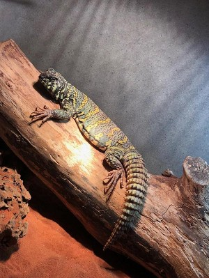 z OUT OF STOCK - UROMASTYX - ORNATE ADULT, MALE- Uromastyx ornata