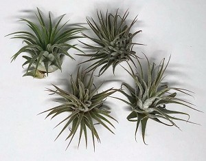 OUT OF STOCK - AIRPLANT - Tillandsia ionantha mexican