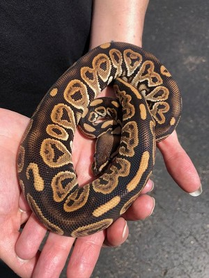 z OUT OF STOCK - BLACK PASTEL BALL PYTHON - Python regius, CB 2018 FEMALE