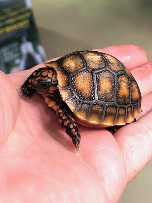 z OUT OF STOCK - CB CHERRYHEAD RED FOOT TORTOISE babies - Chelonoidis carbonaria