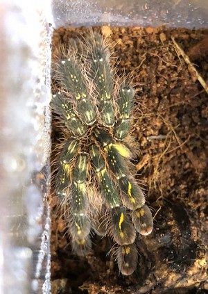 z OUT OF STOCK - FRINGED ORNAMENTAL TARANTULA - approx. 4""