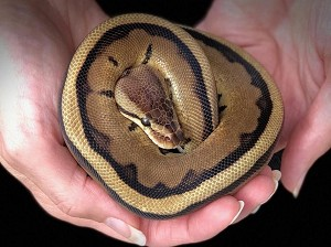 z OUT OF STOCK - GENETIC STRIPE BALL PYTHON - Python regius, CB 2019 MALE