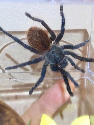 z OUT OF STOCK - Chromatopelma cyaneopubescens - GREEN BOTTLE BLUE - around 4""