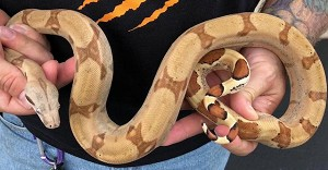 z OUT OF STOCK BOA CONSTRICTOR - HYPO, CB