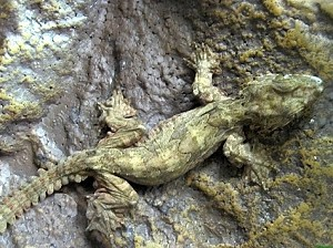 z OUT OF STOCK - FLYING GECKOs - WC, Ptychozoon kuhli