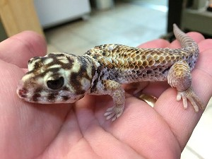 z OUT OF STOCK - FROG EYE GECKO - CB - teratoscincus scincus