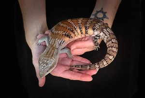 BLUE TONGUE SKINK, NORTHERN - CB juvie, MILKY WAY, Tiliqu scincoides