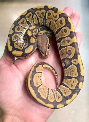 Z OUT OF STOCK - ORANGE GHOST BALL PYTHON - Python regius, CB MALE (Produced by Reptile Rapture) (t)