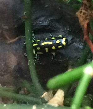 z OUT OF STOCK - THUMBNAIL DART FROGS, CB - R. vanzolini
