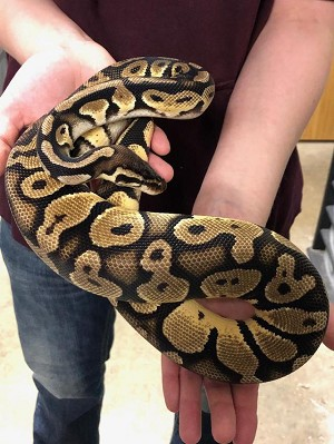 "z ADOPTED - ADULT BALL PYTHON - ""MAXWELL"""