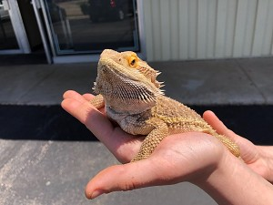 "z ADOPTED - ADULT BEARDED DRAGON - ""SASSY PANTS"""