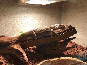 z OUT OF STOCK - SAVANNAH MONITOR, Varanus exanthematicus - CH babies