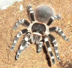 z OUT OF STOCK - Acanthoscurria geniculata - WHITE KNEE TARANTULA, 2'