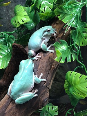 z OUT OF STOCK - WHITE'S TREE FROG (DUMPY) Litoria caerulea - CB adults